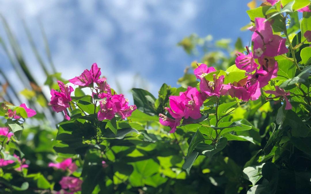 Plant Profile: Bougainvillea