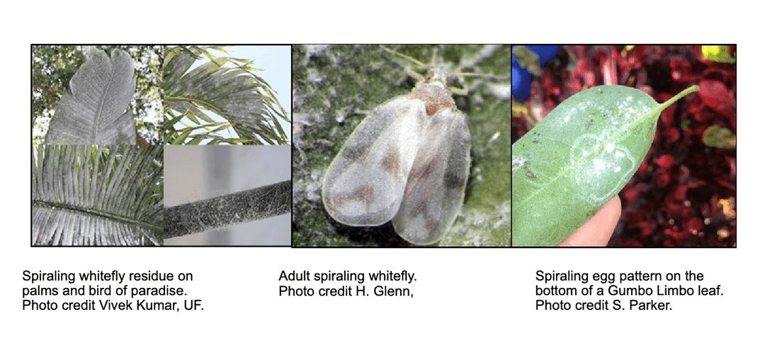 Knowledge Center: Spiraling White Fly