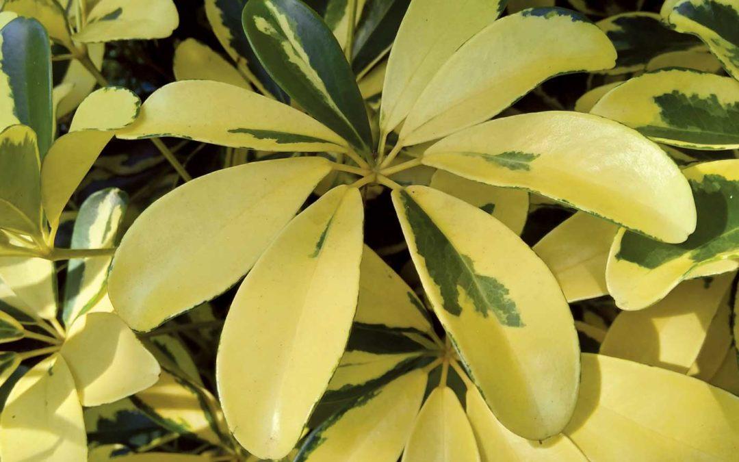 Plant Profile: Arboricola